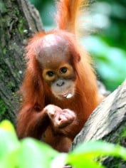 palm oil orangutan