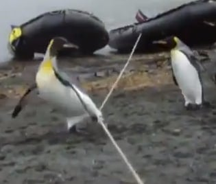 penguins crossing a rope