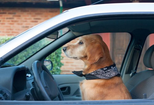 Can T Get Stupid Golden Retriever Into Car
