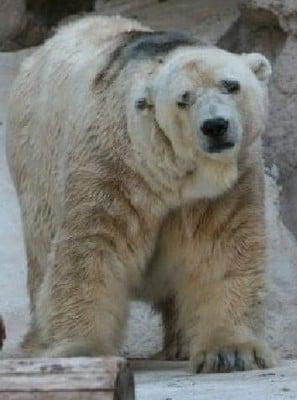 Arturo has been called the world's saddest bear