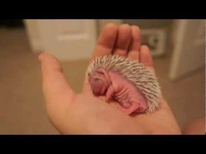 Video thumbnail for youtube video SAT: Here are 6 videos of baby hedgehogs that will make your weekend. - Mamamia