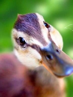 duckling thumb