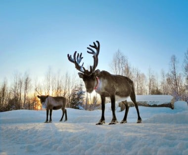 Rudolph is coming but where are his relatives?