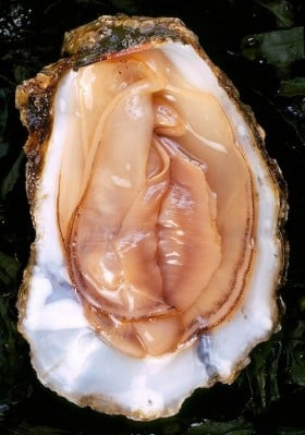 Oysters from Buzzfeed.com