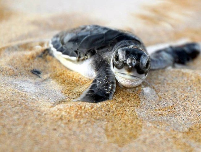Baby sea turtle lead resize