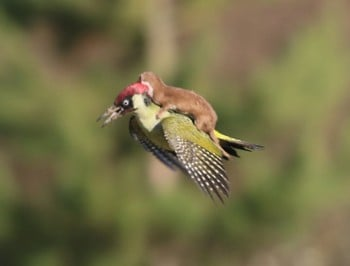 A photographer captures the moment a weasel hitches a ride on a woodpecker