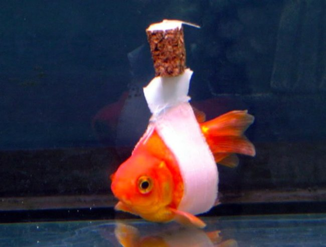 Goldfish wheelchair