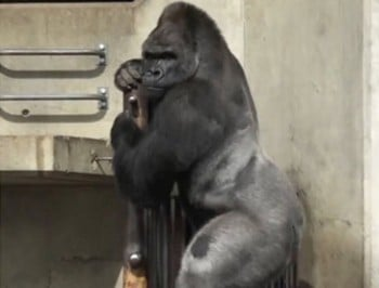 Meet Shabani: the gorilla that women are strangely aroused by.