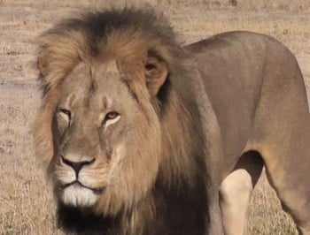 After hunting, skinning and beheading a lion this American dentist is now finding he is the victim of a different kind of hunt.