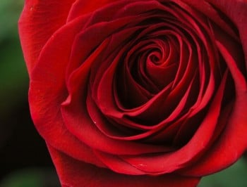 Soft natural light falling onto a velvet blood-red Valentine rose with a soft tear. Concept photograph for Valentines Day, Memorials and Weddings.