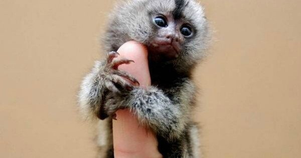 Thumb monkey 1 weibo