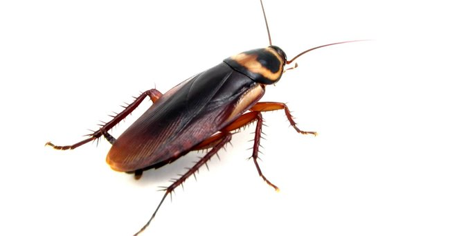 Cockroaches can breed for generations without males, study finds.