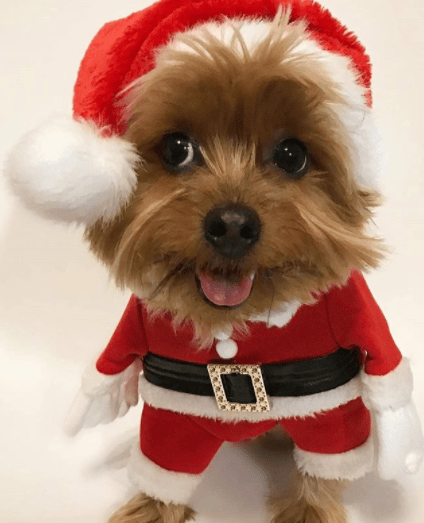 Small dogs looking bloody cute in their Kmart Santa costumes.Looking good  Codie! Image Instagram/Cody Bear The Yorkie.