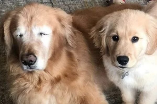 This blind Golden Retriever has a 'seeing eye' puppy and WE'RE NOT COPING.