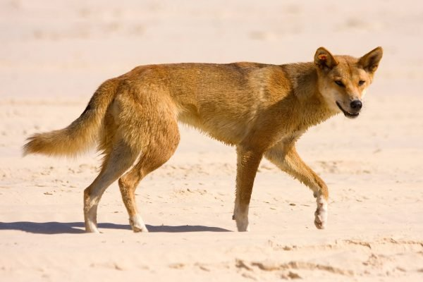 How social media may have played a part in the Fraser Island dingo attack on the toddler.