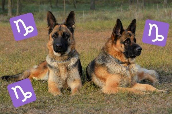 German Shepherd dog breeds horoscopes