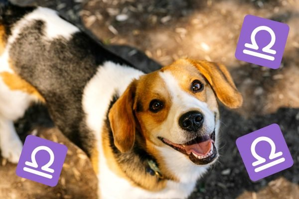 beagle dog breeds horoscopes