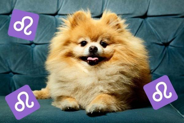 pomeranian dog breeds horoscopes