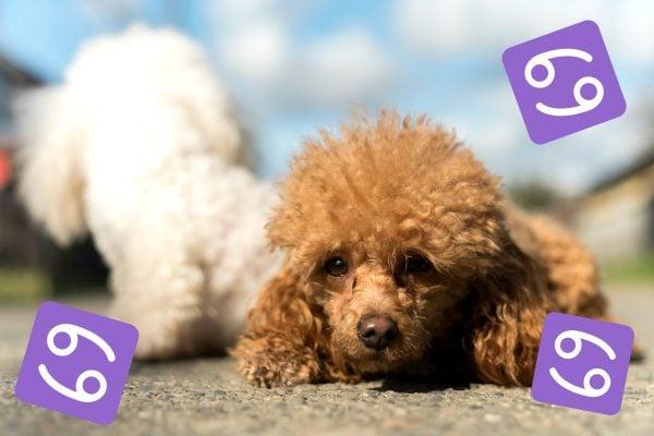 toy poodle dog breeds horoscopes