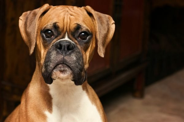"""They have a very specific head tilt."" The 7 things every boxer owner knows to be true."