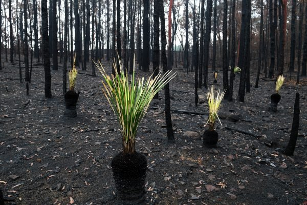 BUSHFIRES NSW NATIVE REGROWTH